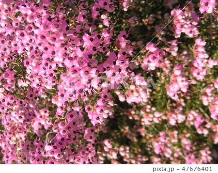 可愛い小さい桃色の花エリカ 47676401
