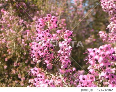 可愛い小さい桃色の花エリカ 47676402