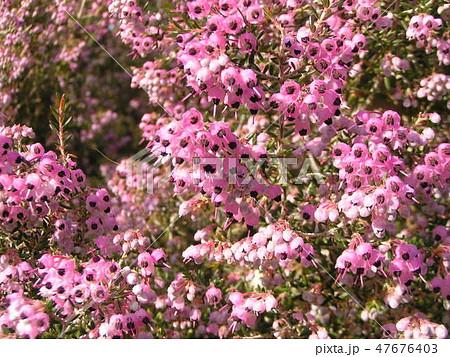 可愛い小さい桃色の花エリカ 47676403