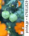 フウセンカズラ 花 風船の写真 47681829