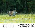 動物 アムールトラ シベリアトラの写真 47682210