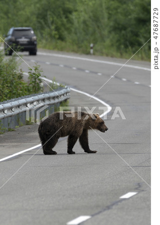 Hungry wild brown bear walks along an asphalt road 47687729