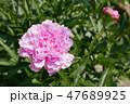 芍薬 ピンク 花の写真 47689925