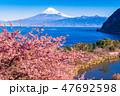 河津桜 富士山 海の写真 47692598