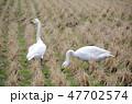 ハクチョウ コハクチョウ 野鳥の写真 47702574