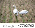 ハクチョウ コハクチョウ 野鳥の写真 47702702