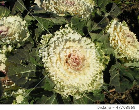こじま花の会花畑の白いハボタン 47703969