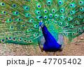 クジャク 【動物鳥類】 47705402