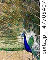 クジャク 【動物鳥類】 47705407