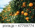 柑橘類 みかん 八朔の写真 47709774