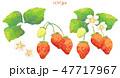 苺 フルーツ 果物のイラスト 47717967