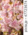 花 桜 サクラの写真 47723674