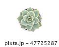 さぼてん サボテン 仙人掌の写真 47725287