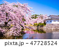 小田原城 桜 春の写真 47728524