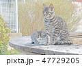 猫の親子のイラスト 47729205