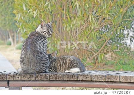 猫の親子のイラスト 47729207