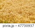 麦畑 麦 畑の写真 47730937