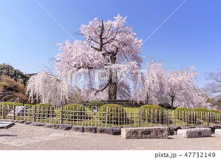 祇園しだれ桜 京都円山公園 京都桜の名所 春の京都観光  47732149