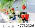 フルーツ 苺 果実の写真 47732326