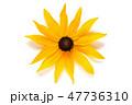 フラワー 花 ルドベキアの写真 47736310