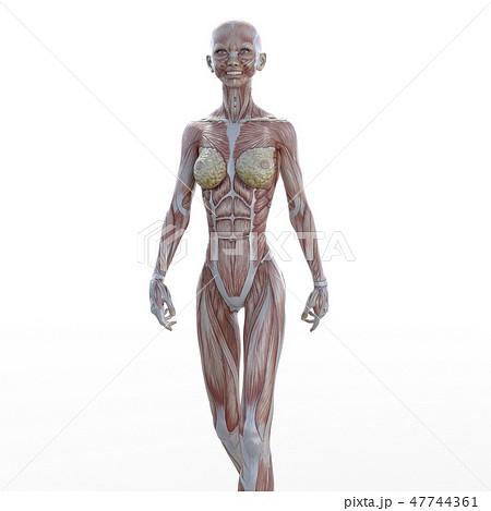 女性 解剖 筋肉 3DCG イラスト素材 47744361