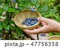 ブルーベリー 果物 収穫の写真 47756358