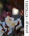 梅の花 47762851