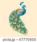 鳥 孔雀 ピーコックのイラスト 47770930