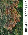 杉花粉 花粉 杉の写真 47773373