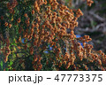杉花粉 花粉 杉の写真 47773375
