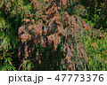 杉花粉 花粉 杉の写真 47773376