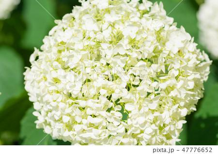 白い紫陽花(群馬下仁田あじさい園) 47776652