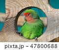 Lilian's lovebird green exotic parrot bird 47800688