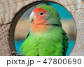 Lilian's lovebird green exotic parrot bird 47800690