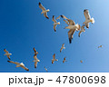 Many seagulls fly against the blue sky 47800698