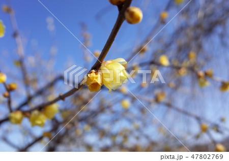 美しい蝋梅の花 47802769