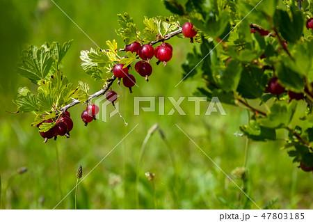 Gooseberries in green bush as background. 47803185
