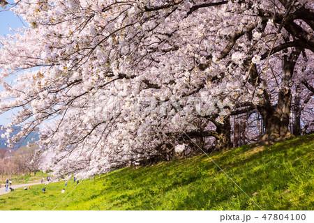 淀川河川敷公園 背割堤の桜 47804100