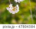 花 春 桜の写真 47804384