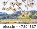 花 春 桜の写真 47804387