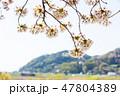 花 春 桜の写真 47804389