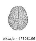 脳 ベクタ ベクターのイラスト 47808166
