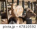 鹿 奈良公園 動物の写真 47810592
