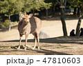 鹿 奈良公園 動物の写真 47810603