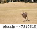 鹿 奈良公園 動物の写真 47810615