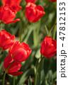 チューリップ 植物 花の写真 47812153