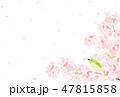 桜 花 花びらのイラスト 47815858