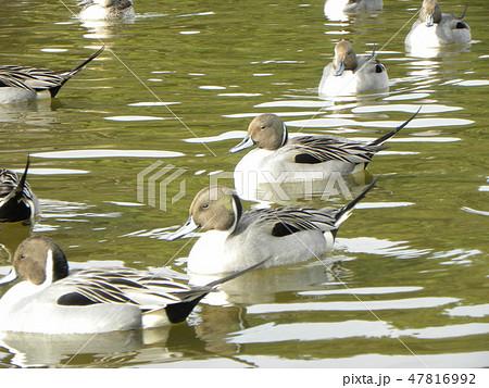 稲毛海浜公園に来た渡り鳥オナガガモ 47816992