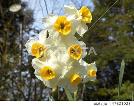 三陽メデアフラワーミュージアムの白い水仙 47821023