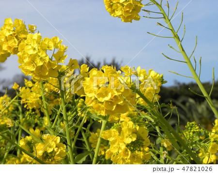12月に咲き始めた早咲きナバナ 47821026